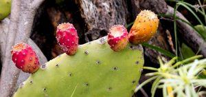 cactus met vruchten